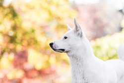 Canaan dog in park