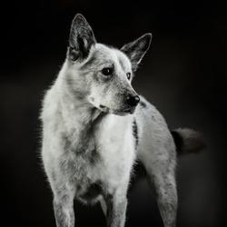 Canaan dog portrait shot in studio on a dark grey background