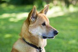 Canaan dog rare breed