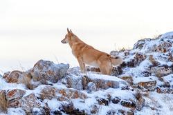 Canaanite dog in winter on Lake Baikal.