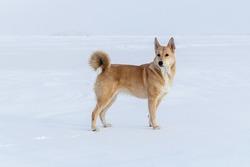 Canaanite dog on a walk on Lake Baikal.