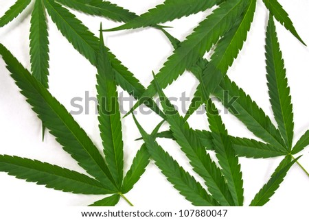 canabis leaf - stock photo