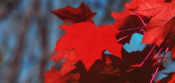 Canada Day maple leaves background. Red maple leaves. Falling red leaf for Canada Day 1st July. Happy Canada Day real maple leaves in shape of Canadian Flag. Beautiful symbol of Canadian people.