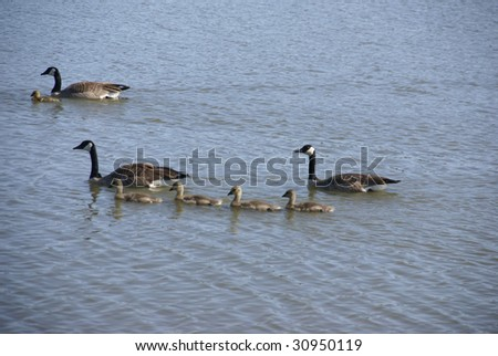 Canada geese and young goslings,  wetlans preserve,  Forest Grove,  Oregon