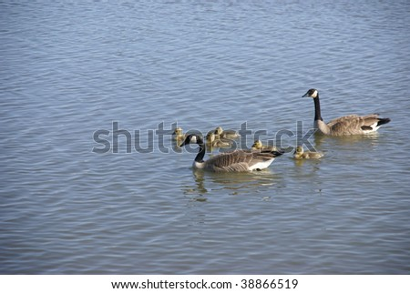 Canada geese and young swimming in wetlands reservoir,   Oregon