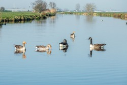 Canada geese, Branta canadensis, and Greylag geese, Anser anser, swimming in a wide ditch with a rural polder landscape in the background