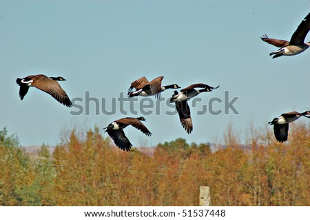 Canada Geese,(Branta Canadensis) in flight - stock photo