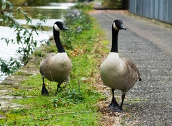 Canada Geese couple, walking on the road next to canal.