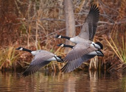 canada geese flying across a pond during autumn