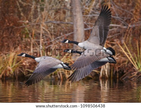 Photo of  canada geese flying across a pond during autumn