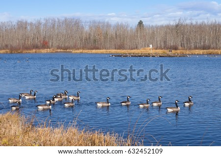 Canada Geese getting Ready for their Migration South