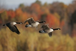 Canada Geese in fall migration.