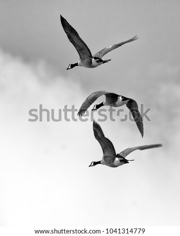 Canada Geese in flight vertical black and white photo
