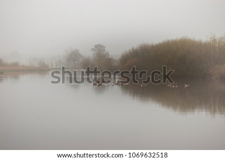 Stock Photo Canada geese in lake, reflecting the trees in the water. Reeuwijk, the Netherlands.