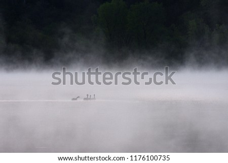 Stock Photo canada geese in the fog. Wisconsin USA