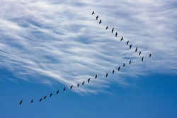 Canada geese in V formation in silhouette against sky and clouds