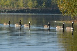 Canada geese.  Kanadagans. Bernache du Canada. Canadese gans. Branta Canadensis
