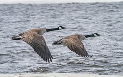 Canada Geese Return to Canada in the Spring