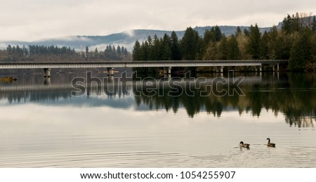 Stock Photo Canada Geese swimming on a still river by bridge with reflection and fog in the distant hills