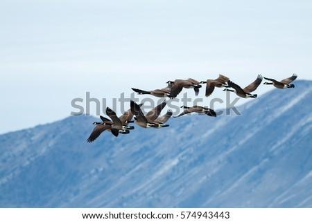 Canada geese taking off, California, Tulelake, Lower Klamath National Wildlife Refuge, Taken 01.2017