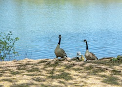 Canada geese with gosling on the riverbank.
