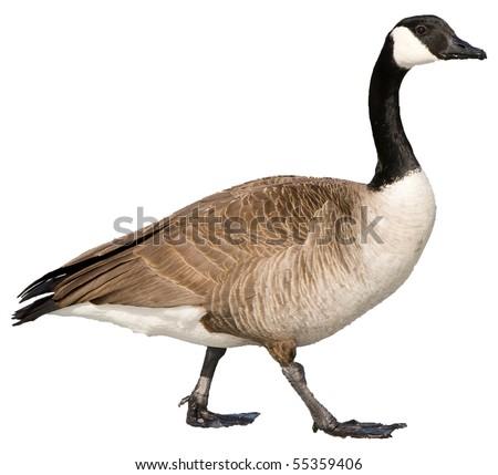 Canada Goose #55359406