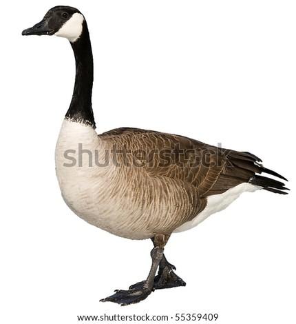 Canada Goose #55359409