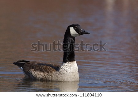 Canada Goose, aggressive pose with neck feathers puffed up, on the water at a pond along the Delaware River waterfront in Philadelphia, Pennsylvania