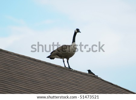 Canada goose and a black bird on the roof - stock photo
