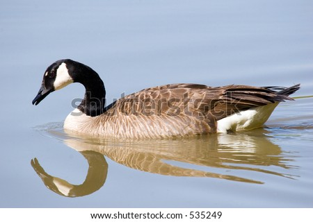 Canada goose appearing to gaze at its own reflection on smooth water - some graininess