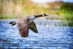 Canada goose big bird in flight close beautiful water lake.