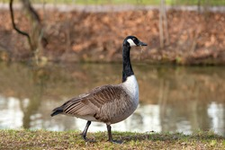 Canada goose bird (Branta canadensis) grazes in front of a colorful lake on a sunny autumn day.