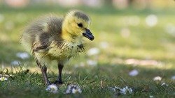 Canada goose (Branta canadensis) gosling portrait with negative space