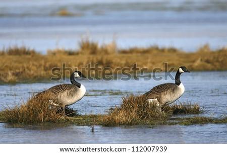 Canada goose (Branta canadensis) standing next to lake