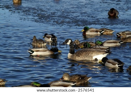 Canada goose (Branta canadensis) swimming with male and female mallards (Anas platyrhynchos)