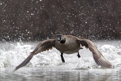 Canada Goose, branta canadensis, taking flight and splashing water drops in the air during takeoff, at a city metro park near Cleveland, Ohio nature, bird, & wildlife photography