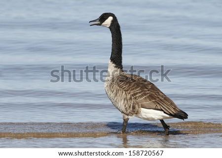 Canada Goose (Branta canadensis) Wading in Shallow Water - Lake Huron, Ontario