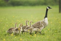 Canada goose (Branta canadensis) with goslings