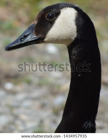 Canada Goose closeup headshot picture