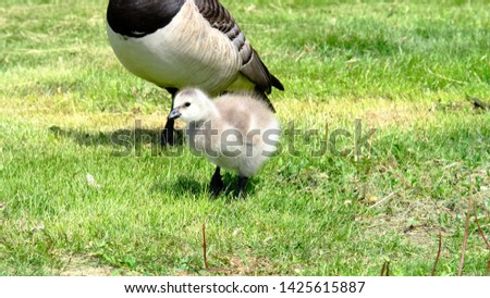 Canada goose, family youngling chik nestling