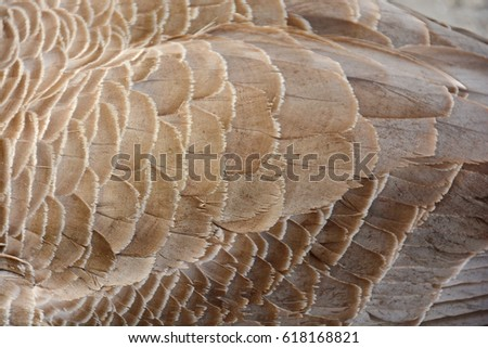Canada Goose Feathers #618168821