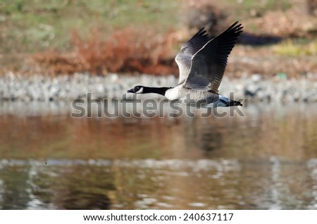 Canada Goose Flying Over the Lake
