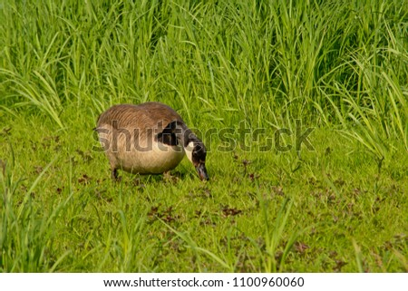 Canada goose foraging for food in a field with high green grass in Bourgoyen nature reserve, Ghent, Belgium