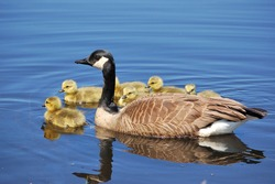 Canada goose goslings swimming in a pond.
