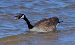 Canada Goose hissing on the Mad River.