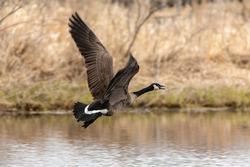 Canada goose in flight. Natural scene from Wisconsin.