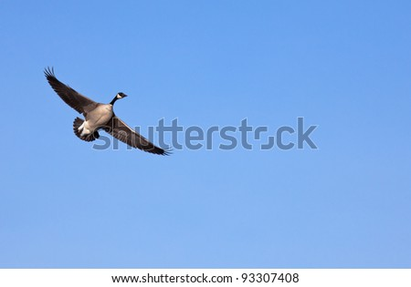 Canada goose in flight with clear blue sky in background