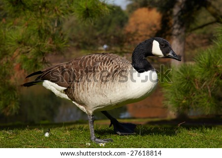 canada goose in forest on a river bank