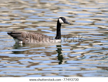 Canada goose in rippling water
