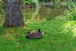 Canada goose mother and young goslings on the green field near the pond.